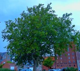 Tree - Baker Lane
