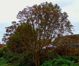 tree, Bawsey Drain