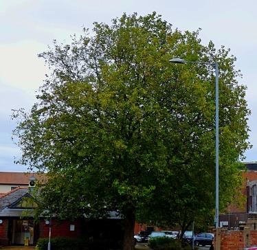Tree BLC