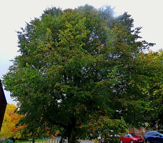 Tree, Goodwins Road