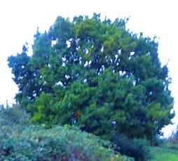 tree, Harding's Pits