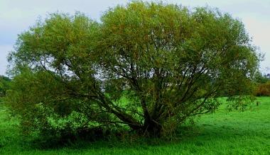 tree, Hardings Pits