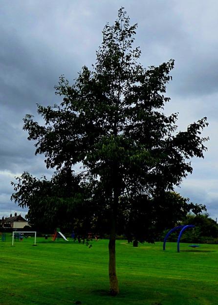 tree in rec park II
