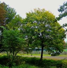 tree, KLTFC