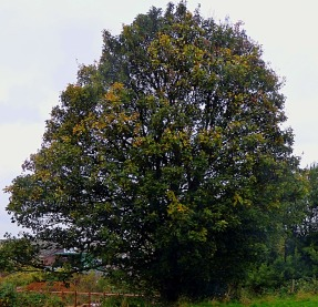 tree, Nar Valley