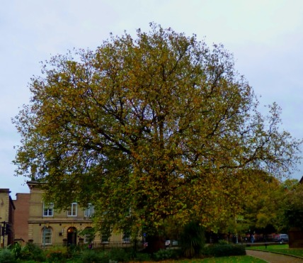 Tree, near Library