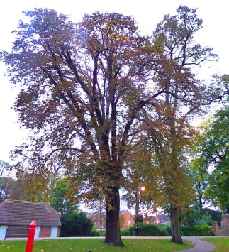 Tree, near seven sisters