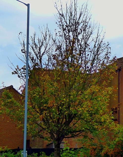 Tree - North Street