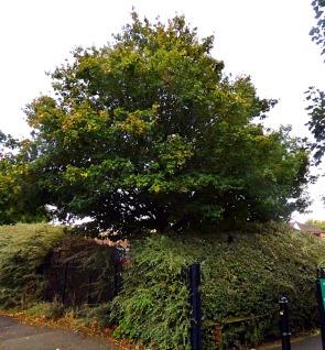 Tree nr Morrisons