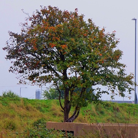 tree, old Boal Quay