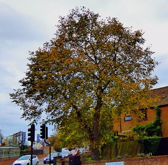 Tree, opp. Keeble Court