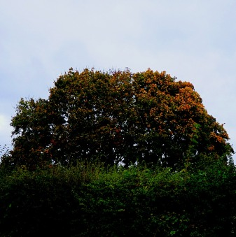 Tree over hedge