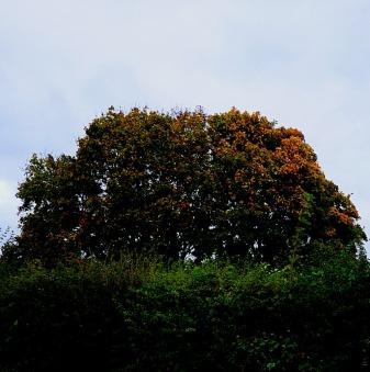 Tree over hedge