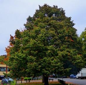tree, seven sisters II