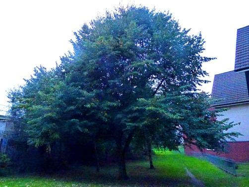 tree, South Gate