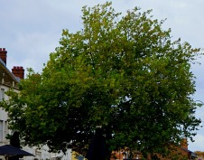 Tree - Tuesday Market Place