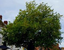 Tree - Tuesday Market Place
