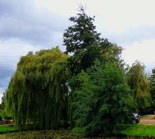 Trees, 2nd duckpond IOI