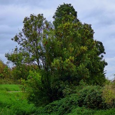 Trees, Bawsey Drain