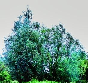 Trees, field