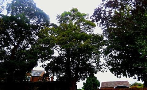 Trees, Kettlewell Lane VII