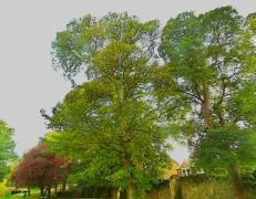 Trees, Kettlewell Lane