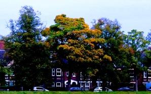 Trees, Tennyson Avenue