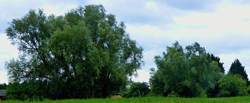 trees w