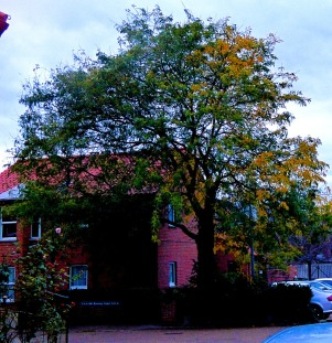 variegated tree, Goodwinbs Road