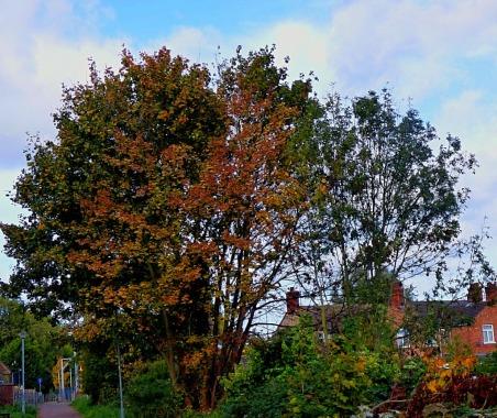Variegated tree