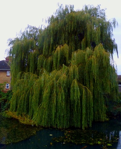 Willow nrt Townshend Terrace II