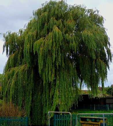Willow, Townshend Terrace I