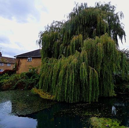 Willow, Townshend Terrace II
