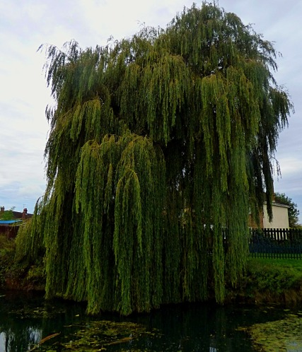 Willow,nr Townshend Terrace
