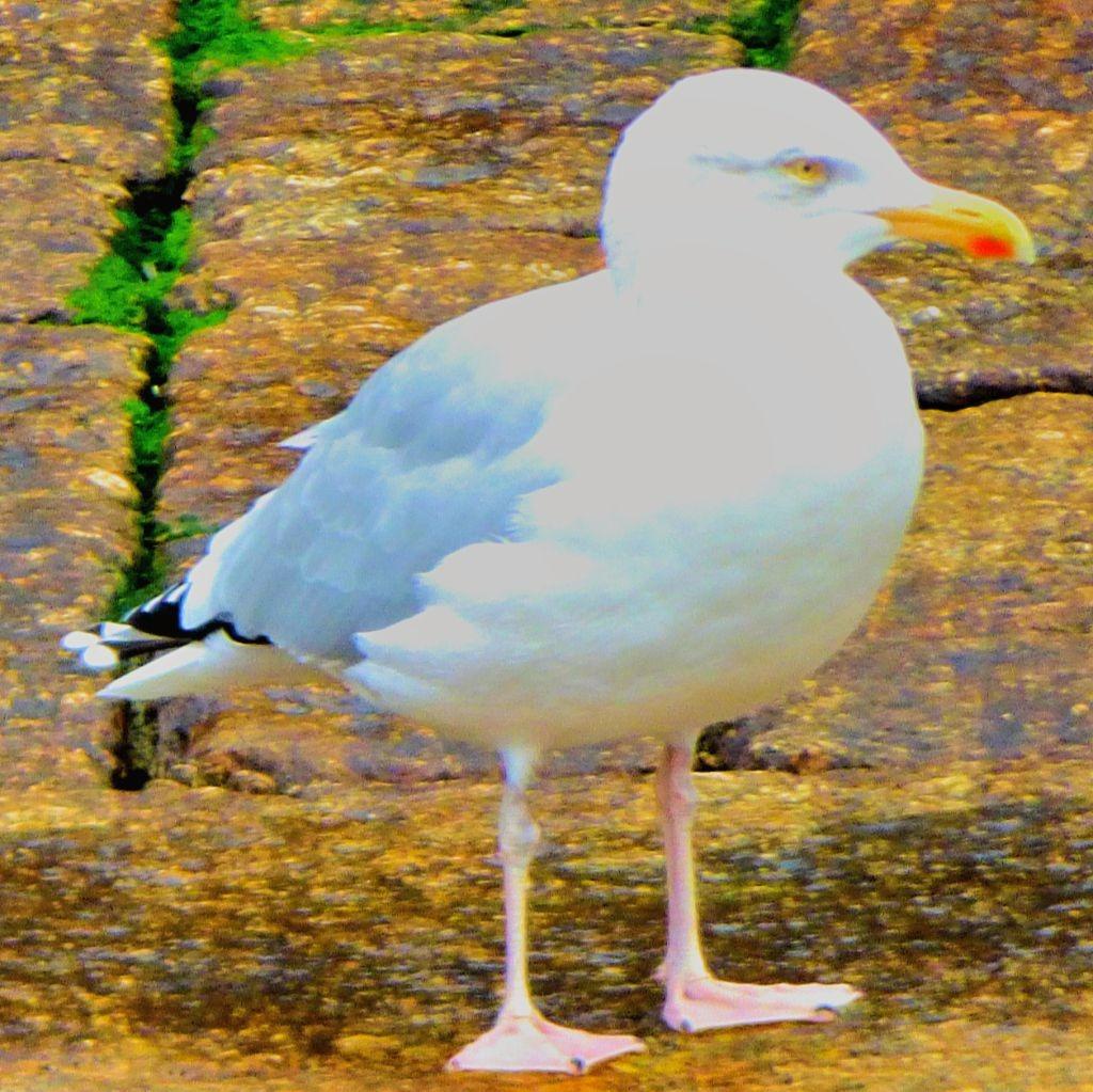 bold gull