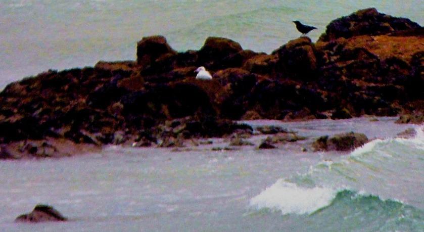 Gull and corvid