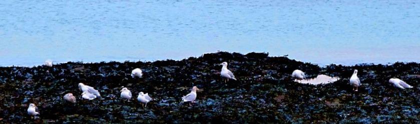 Gulls on seaweed