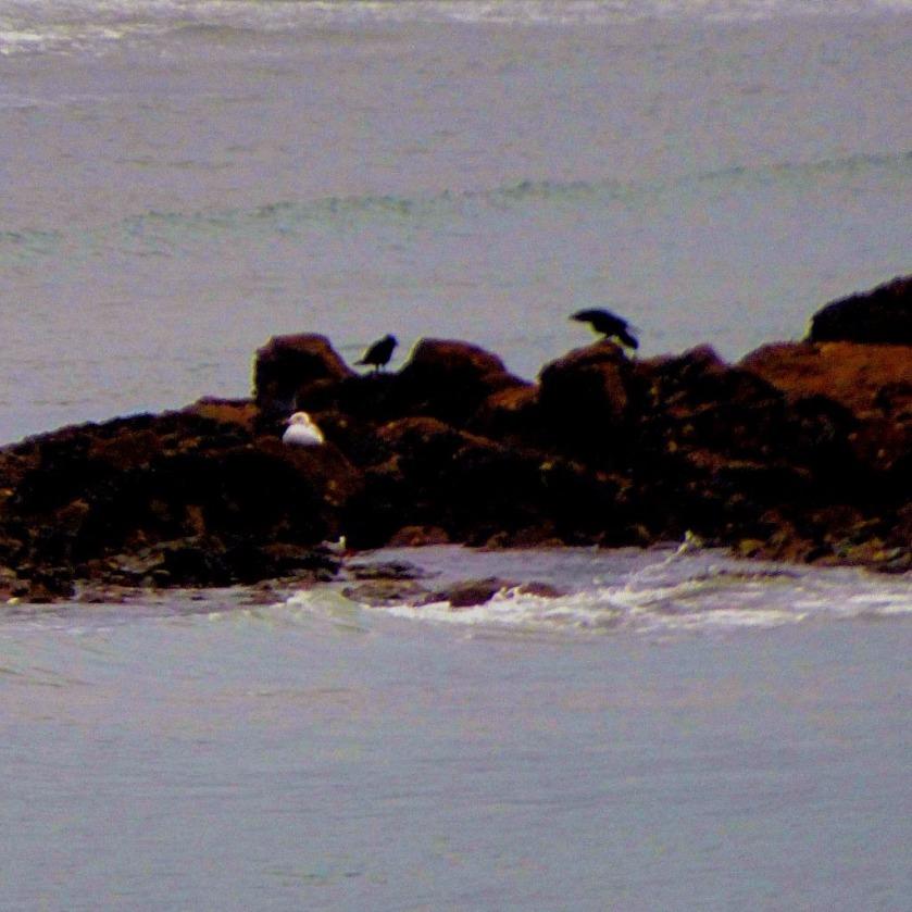 One gull, two corvids