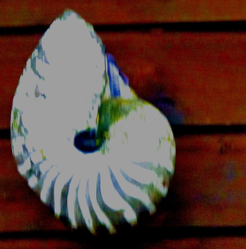 Pearly Nautilus from the Buccaneer