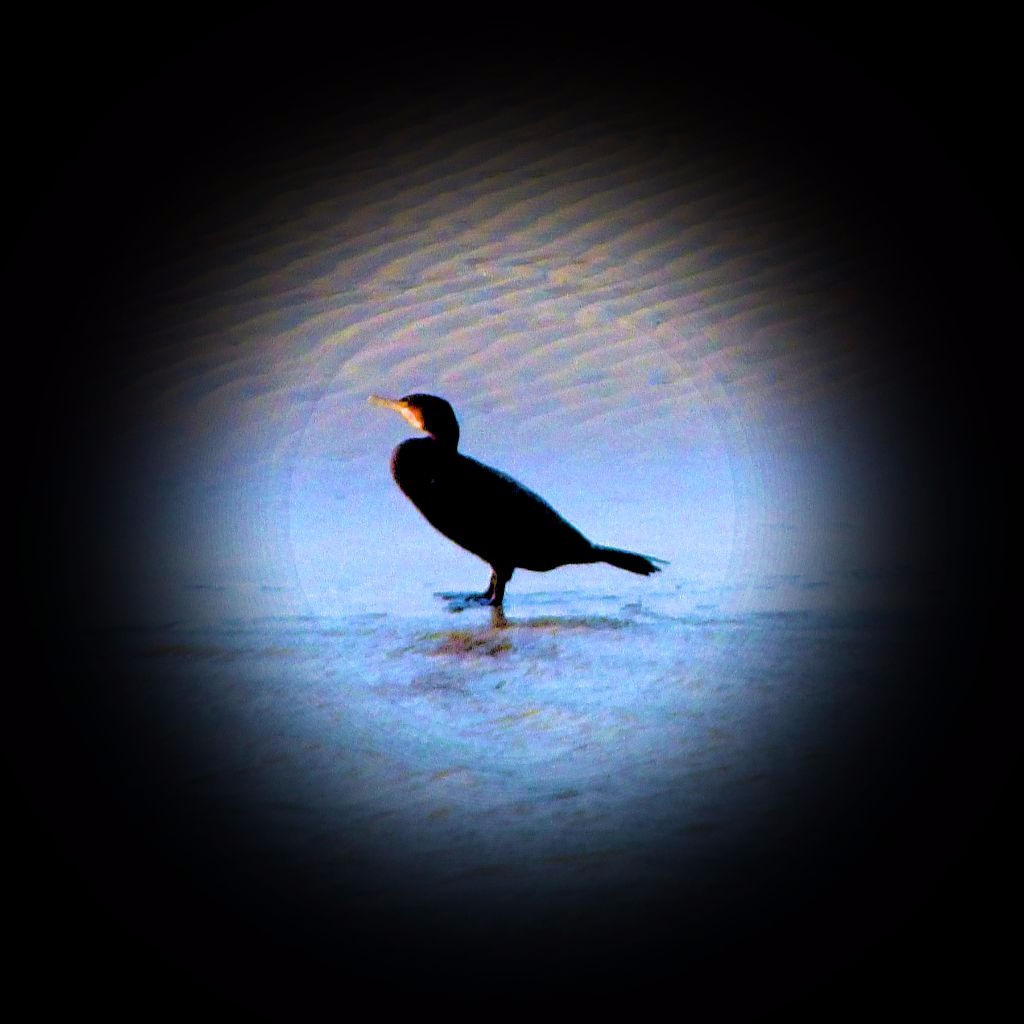 single cormorant close up