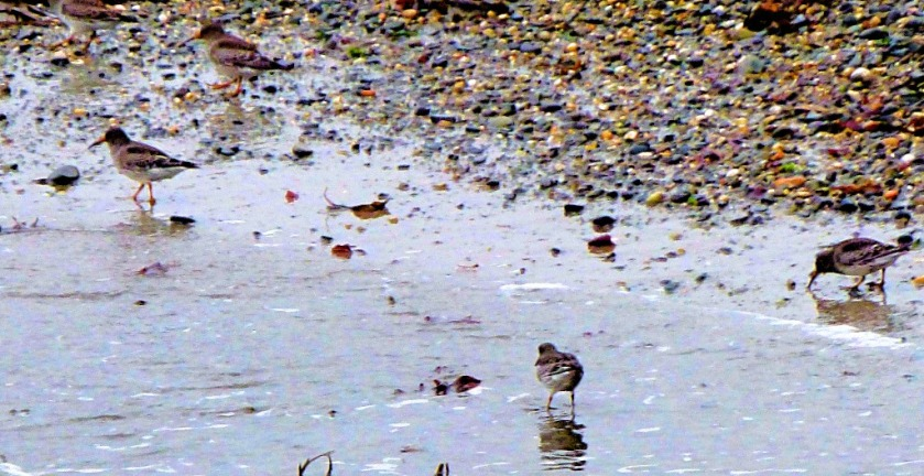 Small Waders
