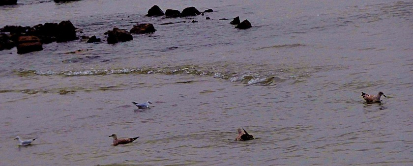 Swimming gulls