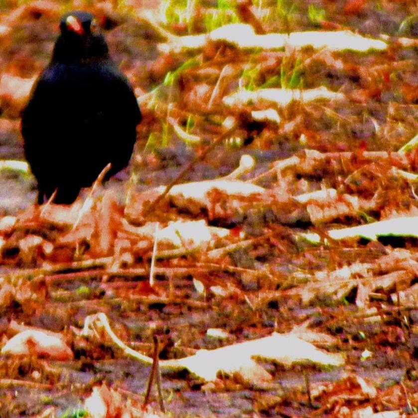 Blackbird II