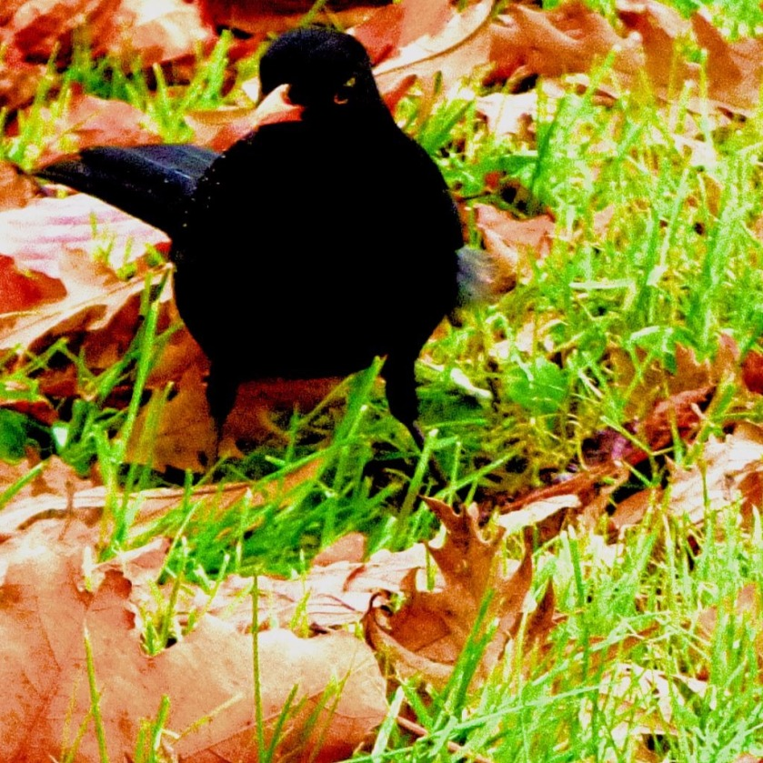 Blackbird IV