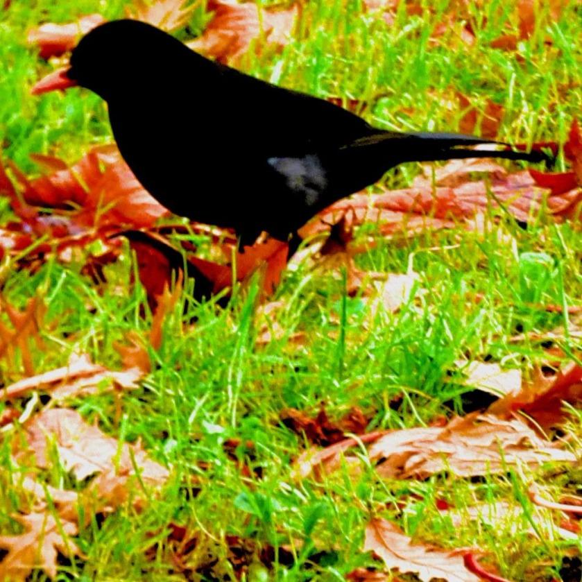 Blackbird V