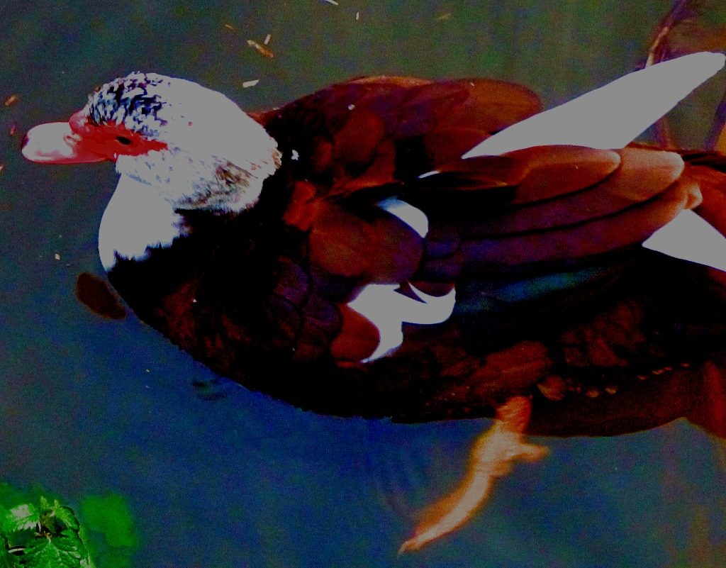 brown muscovy III