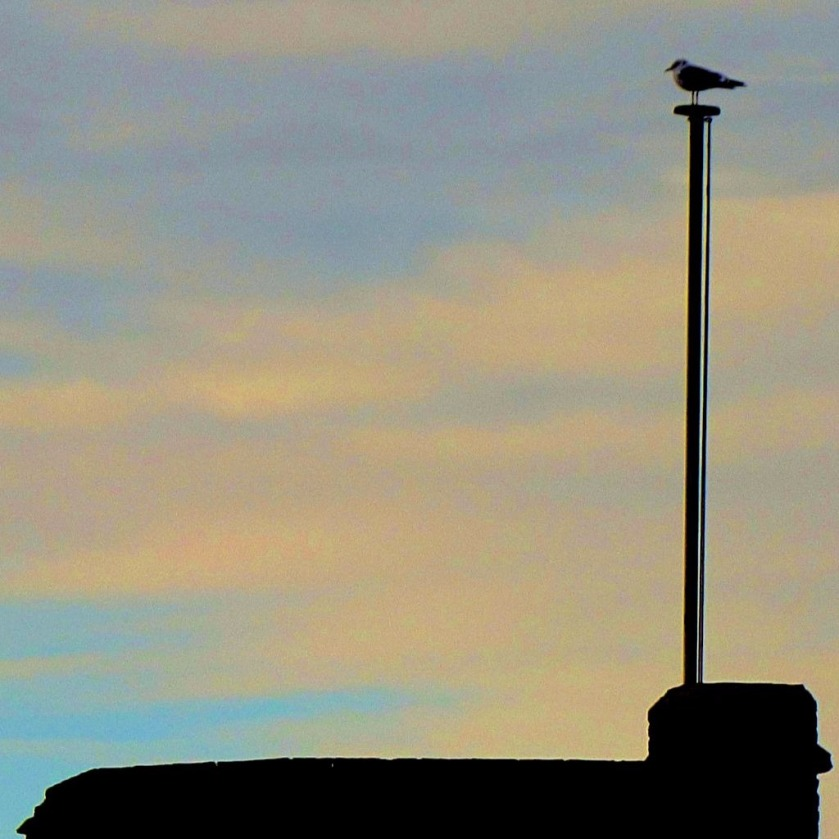 Gull on flagpole