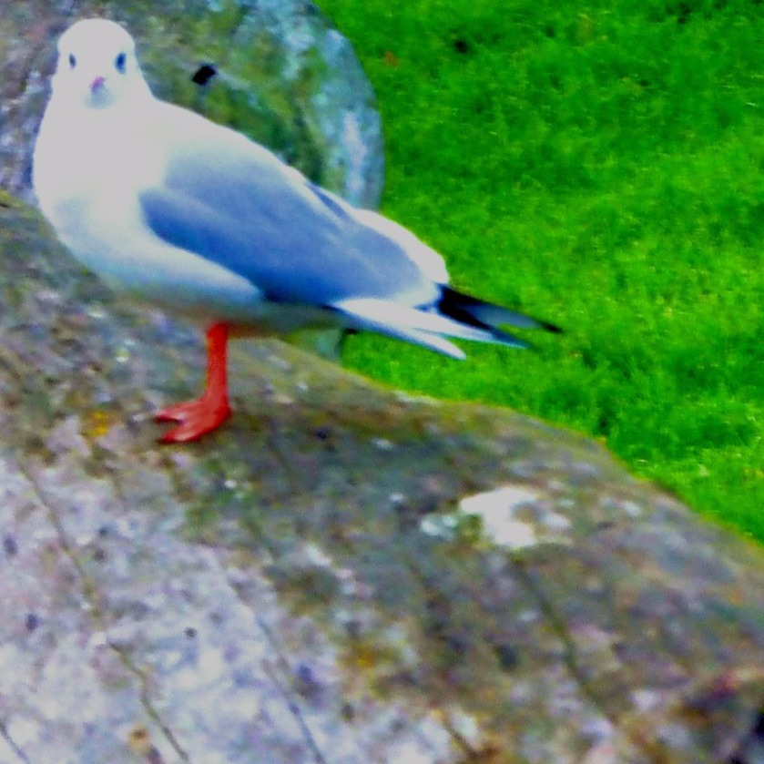Gull on log