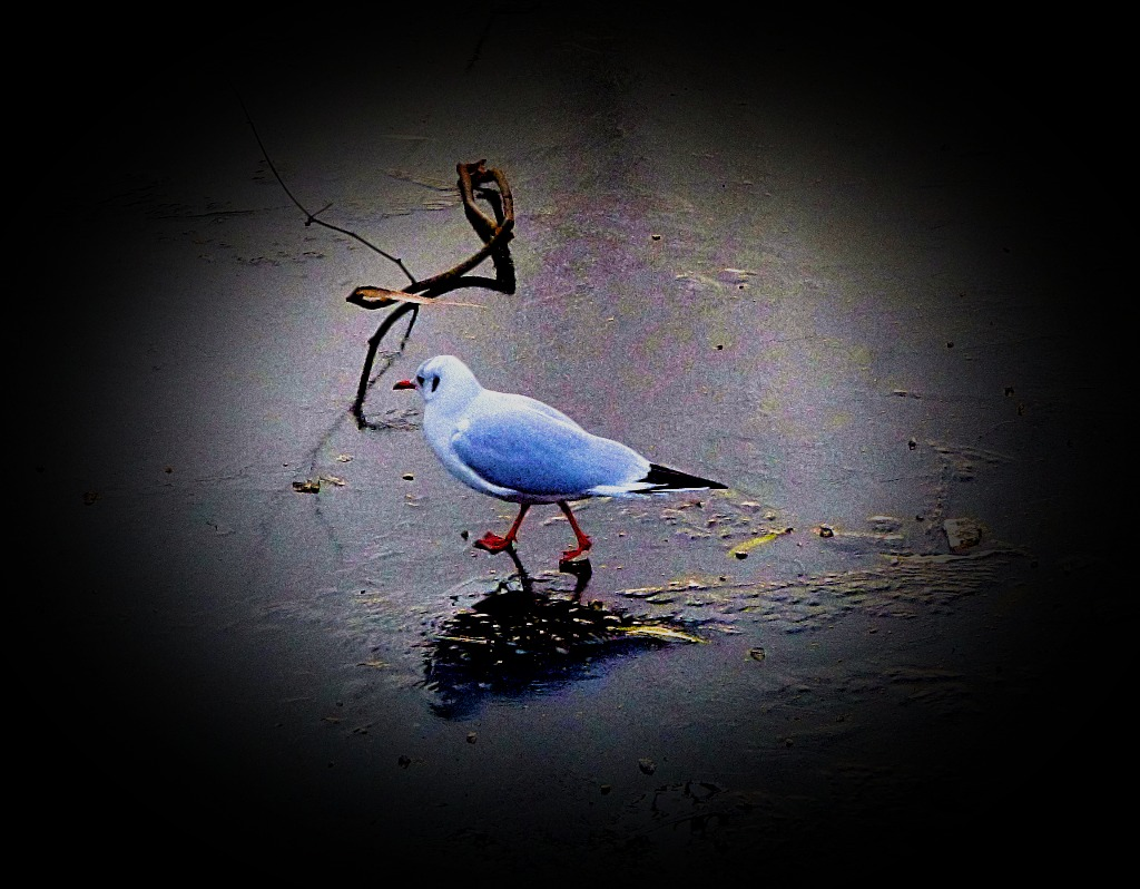 Gull walking on water 3