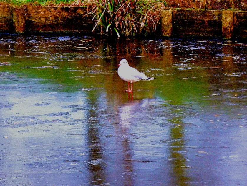 Gull walking on water
